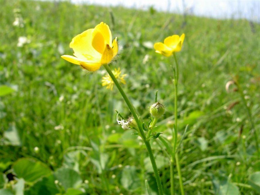 Многоцветковый или Ranunculus polyanthemos