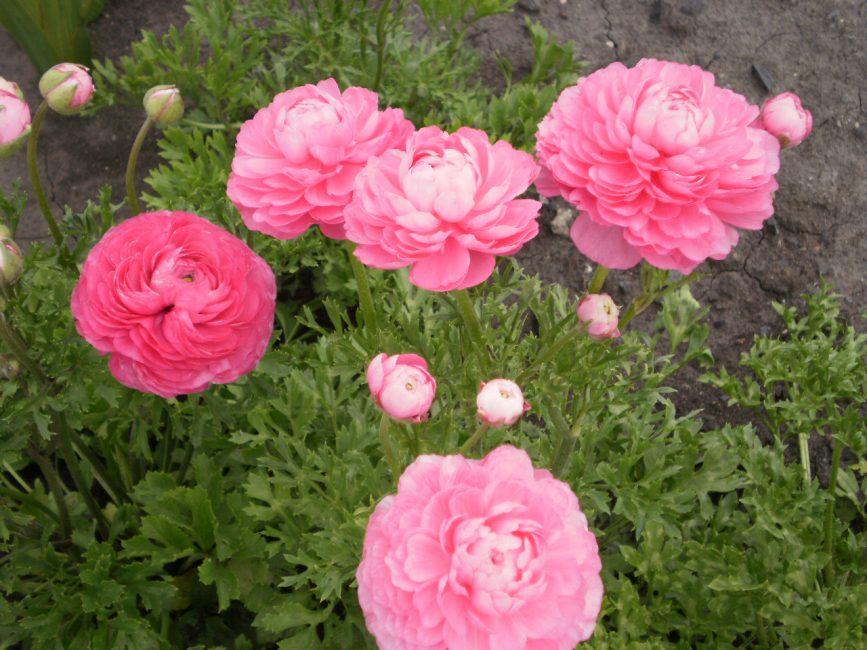 Розовый садовый лютик