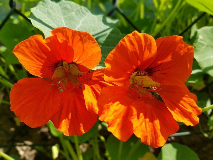 Внешний облик растения при правильной агротехнике