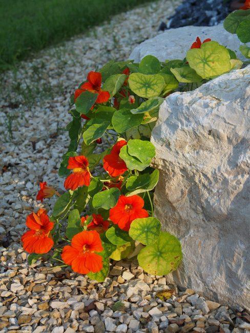 Использование многолистного сорта для каменистой горки