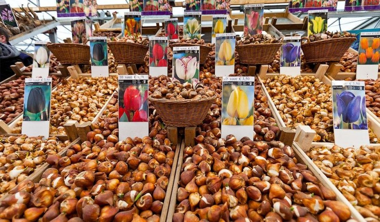 Огромный выбор луковиц тюльпанов