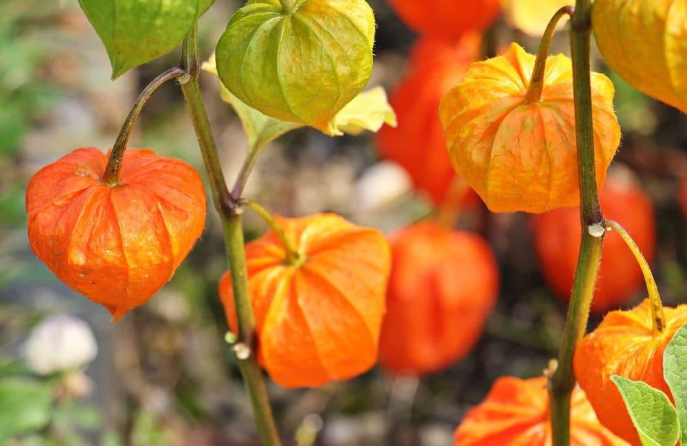 Созревающие плоды физалиса декоративного