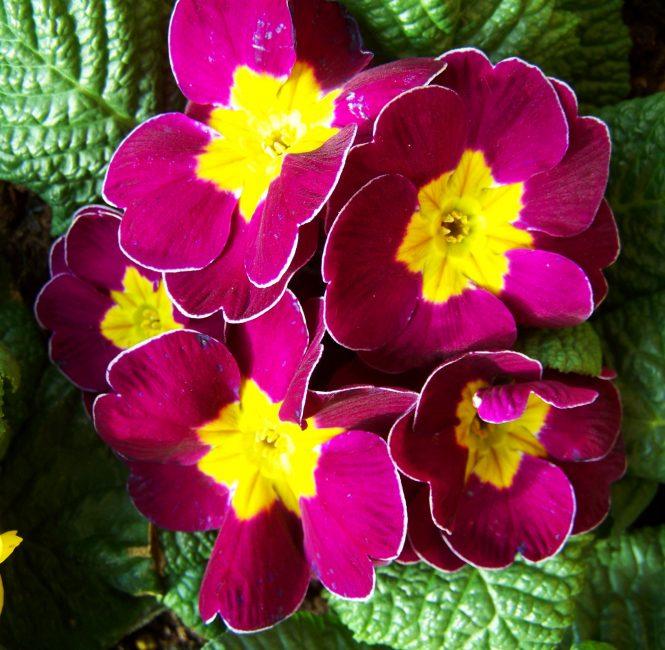 Примула в цветении. На фото можно увидеть махровые цветки растения разнообразной окраски: от нежных тонов до более темных.