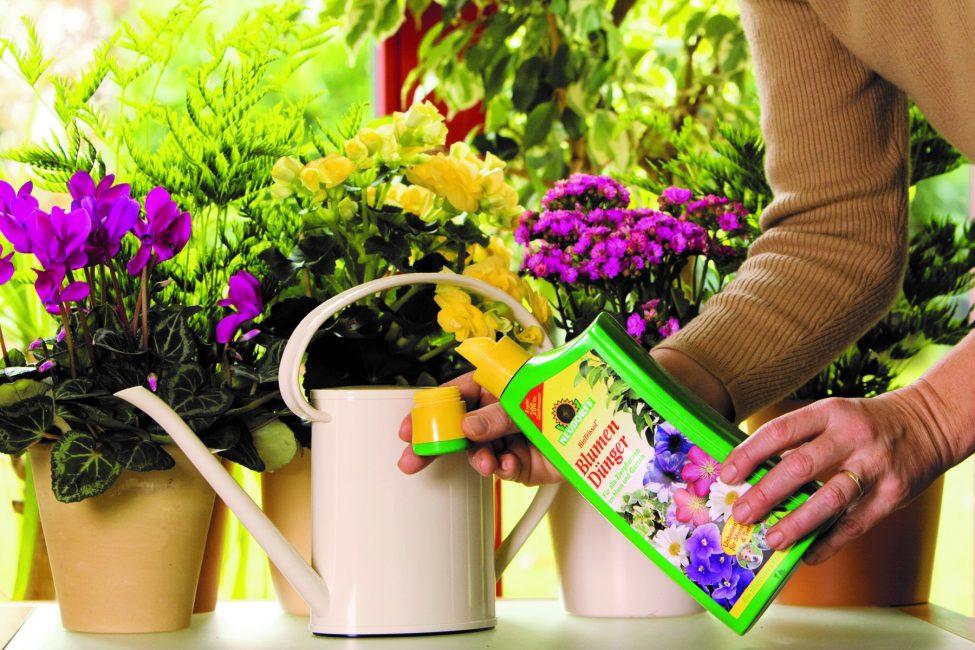 Взрослые растения регулярно удобряются во время цветения и после обрезки.