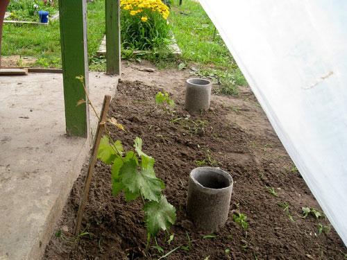 Полив винограда под корень