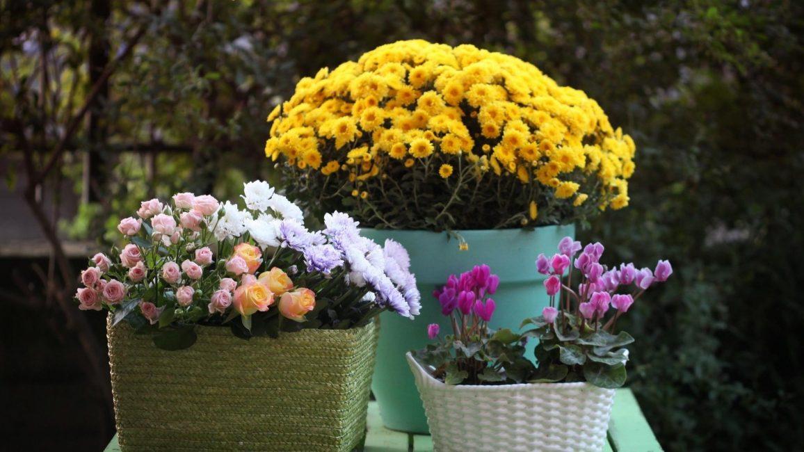 Хризантемы в зимнем саду