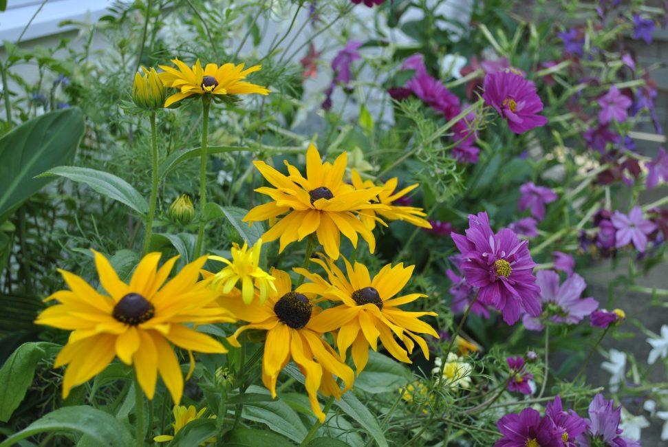 Мармелад – яркое солнышко желто-оранжевых цветков украшает раскидистый куст рудбекии.