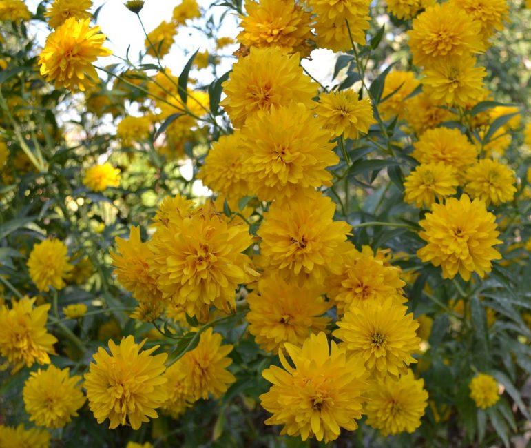 Рудбекия рассеченная. Популярный сорт Золотой шар. Густомахровые цветки радуют взгляд своим великолепием.