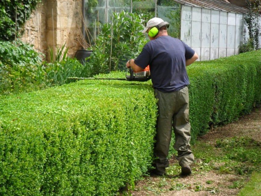 Для проведения ухаживающих процедур используются садовые ножницы, секатор или электрические инструменты для стрижки.