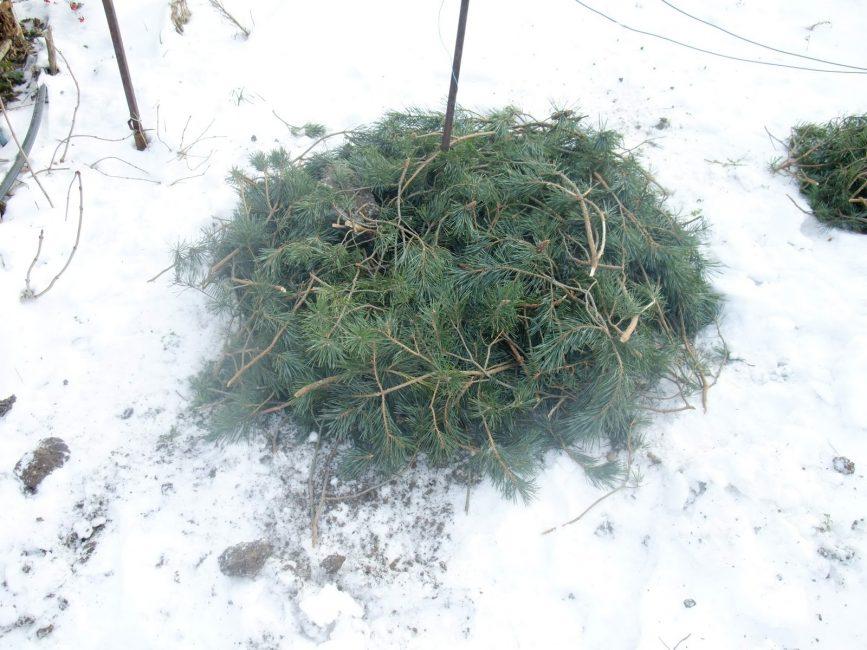 Укрытие хвоей растений на зиму