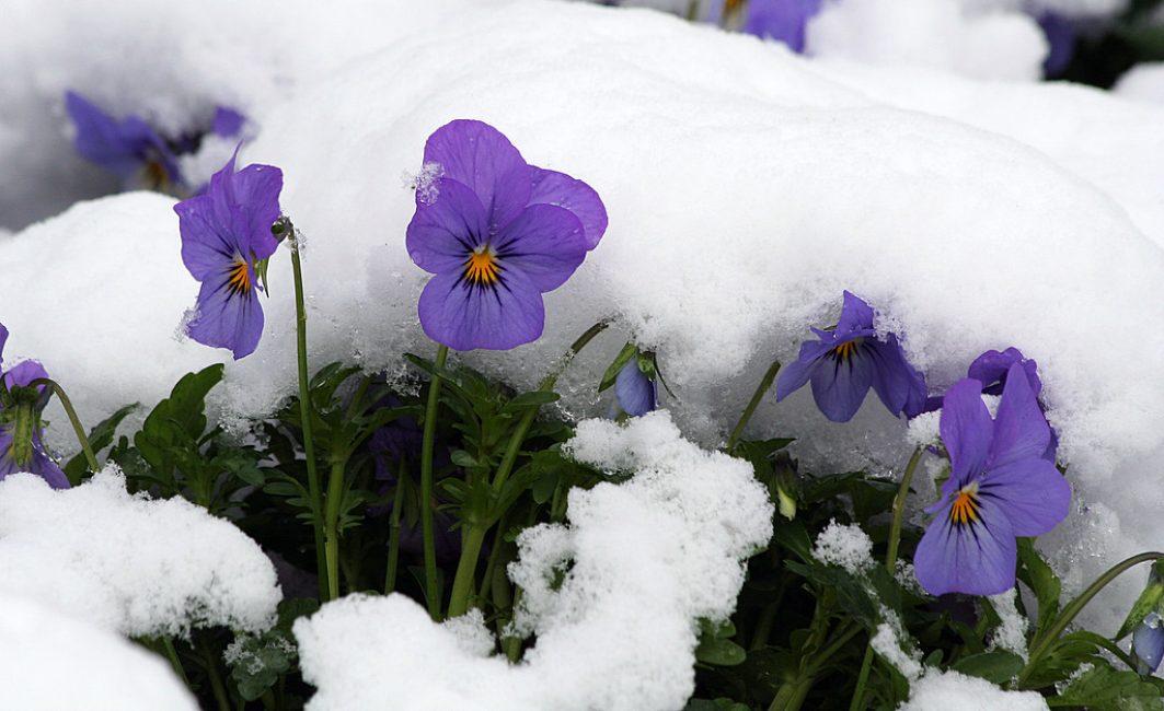виола под снегом