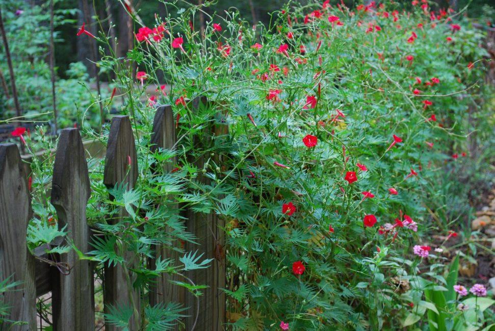 Квамоклит перистый в середине августа – момент максимального цветения