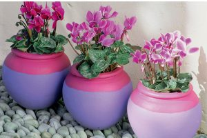 Цикламен – фиалка из луковицы: описание, выращивание из семян в домашних условиях, уход за растением, размножение и пересадка (75+ Фото & Видео) +Отзывы