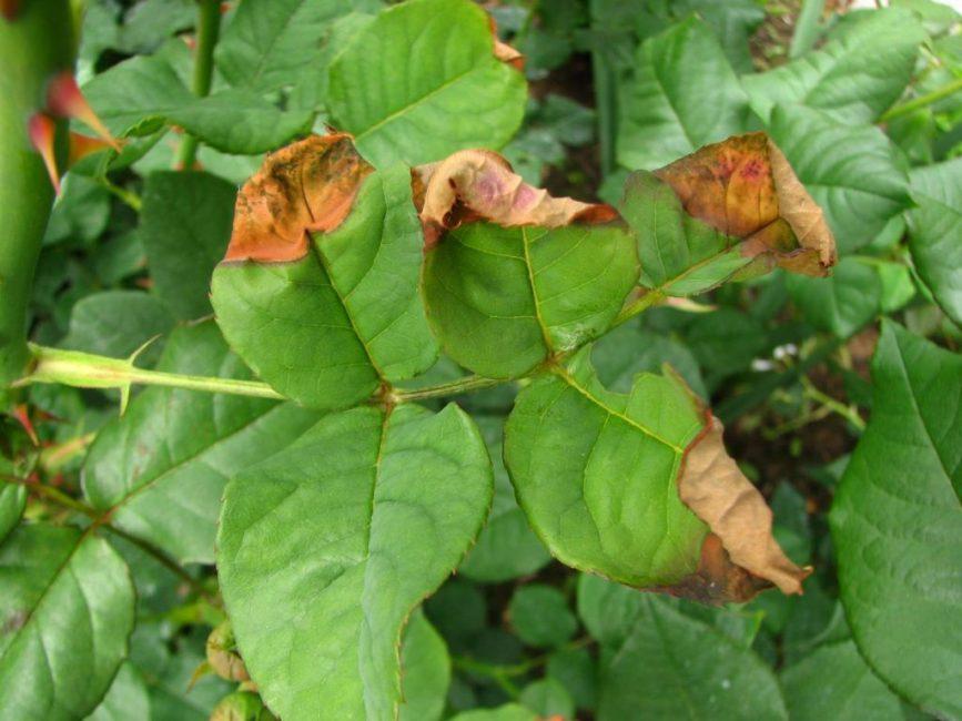 Болезнь листьев роз