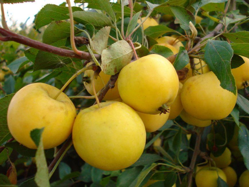 Плоды яблони Уральская наливная