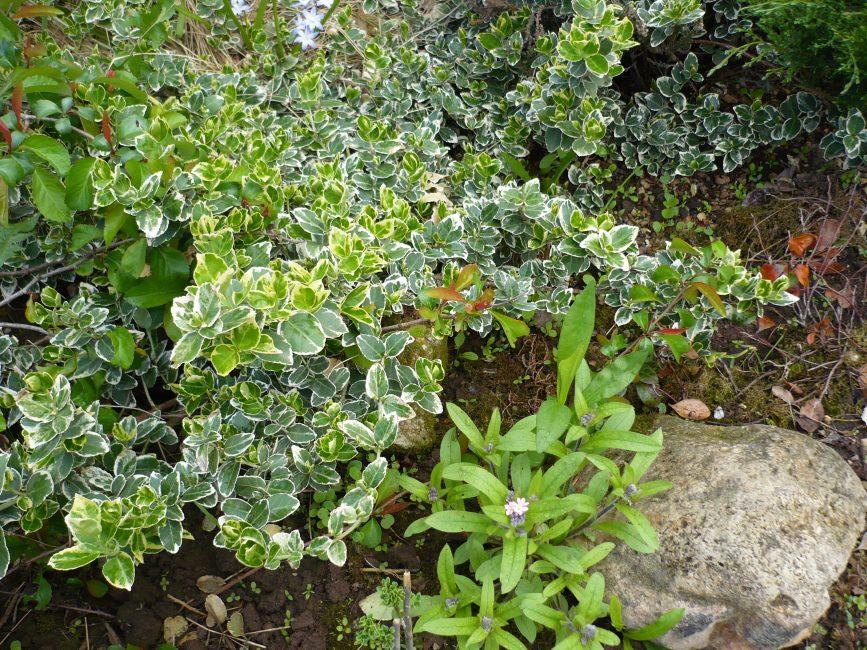 Бересклет Argenteo-variegata