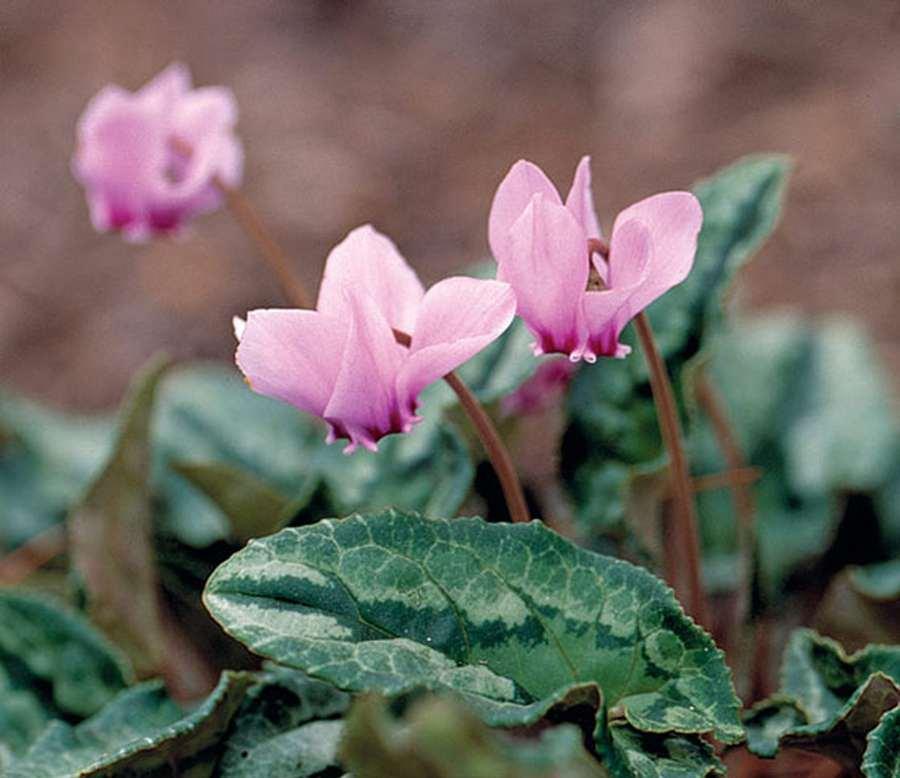 Цикламен - фиалка из луковицы: описание, выращивание из семян в домашних условиях, уход за растением, размножение и пересадка (75+ Фото & Видео) +Отзывы