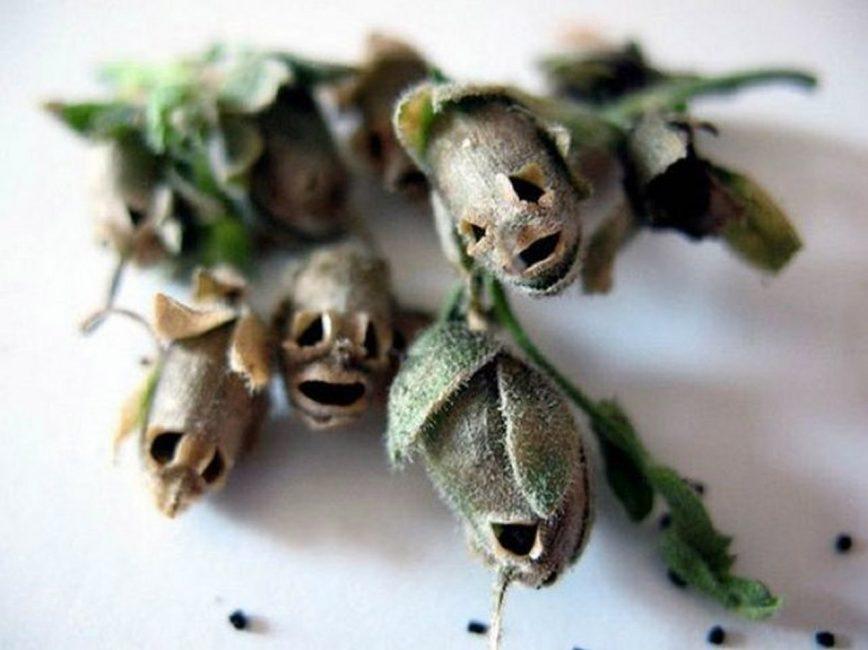 Семянка Львиного Зева (Antirrhinum)