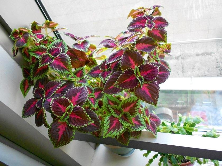 Уход за цветком колеус в домашних условиях 124