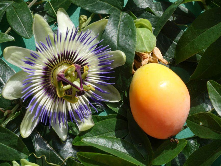 Цветок пассифлоры съедобной иплод маракуйи
