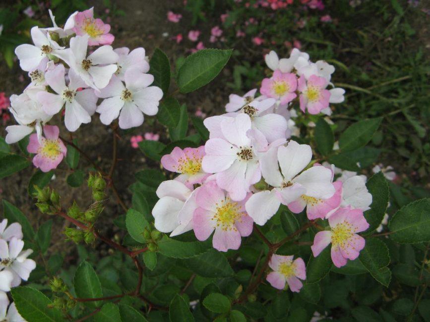 розы Крылья Ангелов