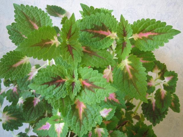 Колеус ароматный (coleus lour)