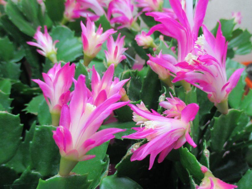 Шлюмбергера Орхидейная