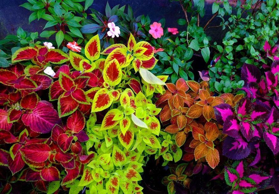 Разнообразие расцветок листьев колеуса поражает воображение.