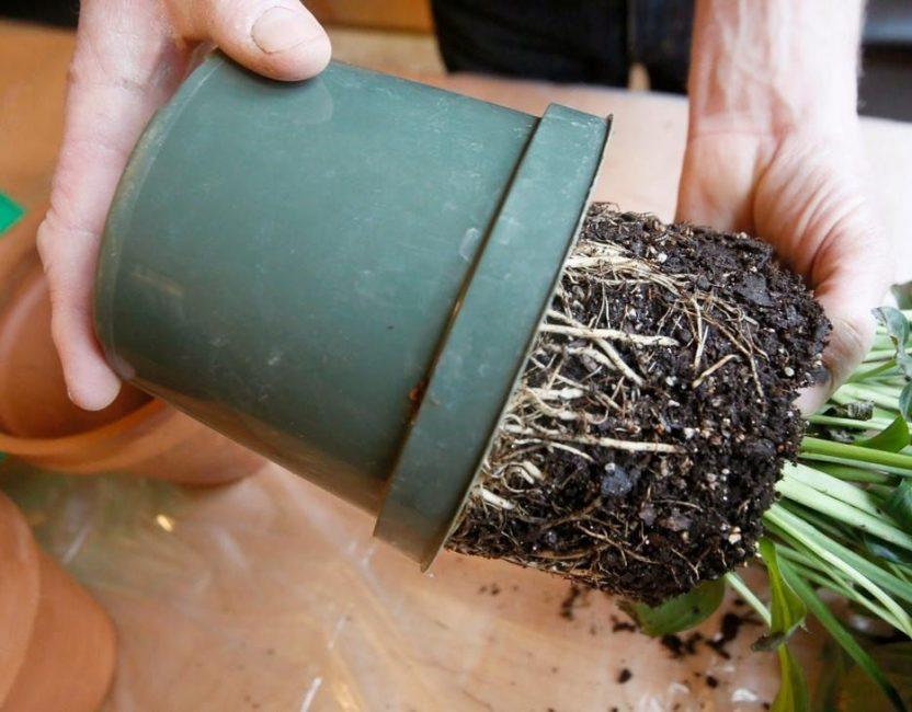 Пересадка и осмотр корней