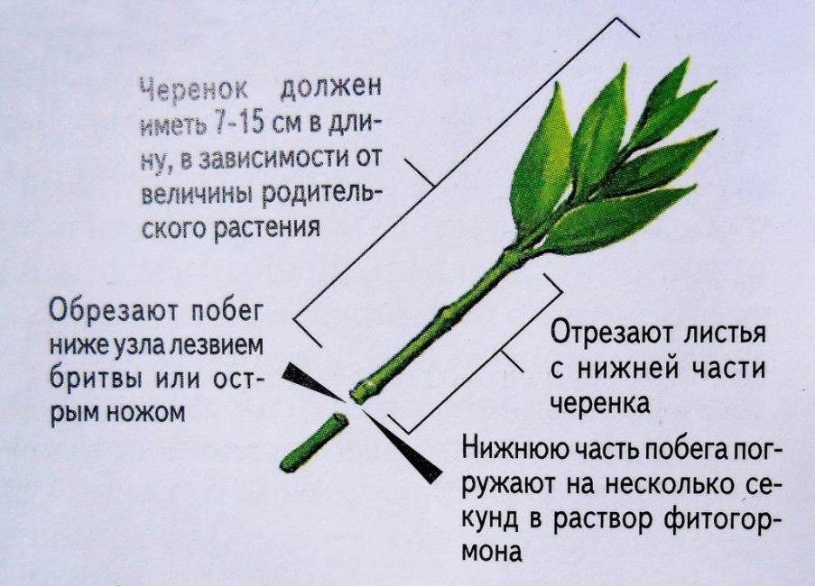 Схема черенкования