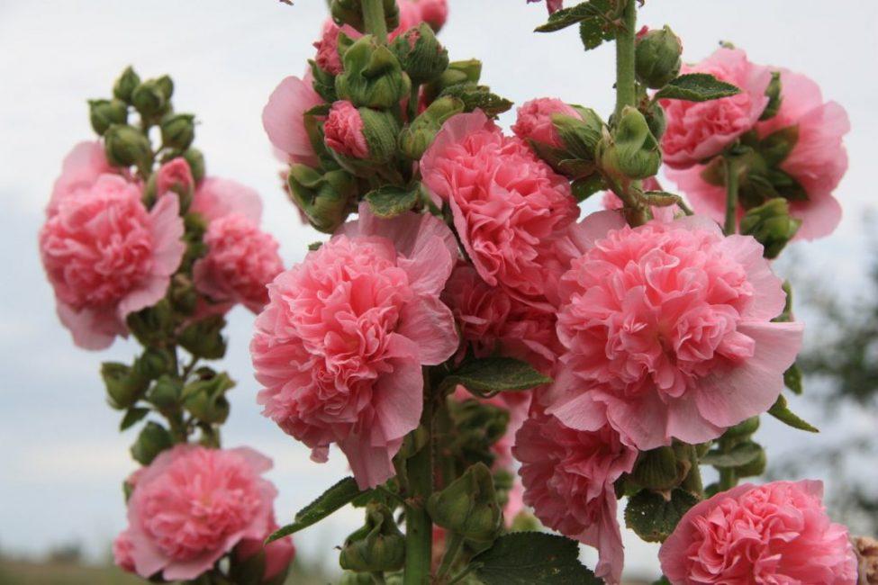 Мальва Шток Роза