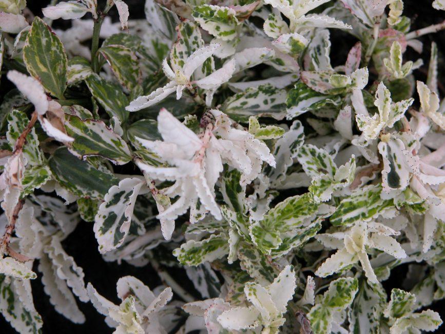 Бересклет Форчуна Арлекин (Euonymus fortunei Harlequin)