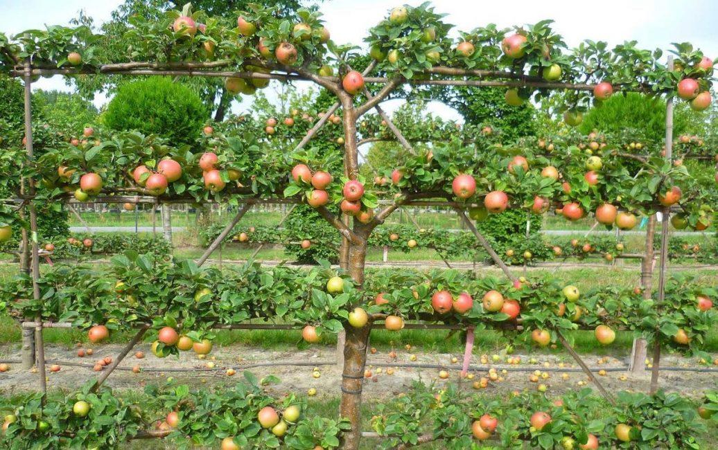Штамбовые яблони формируют для декоративности и удобства