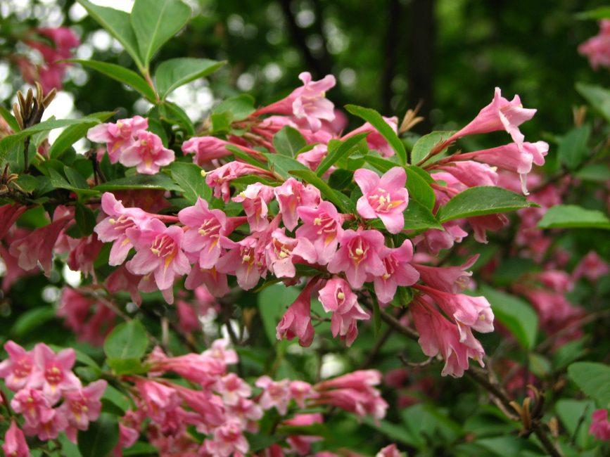 Вейгела Флорида (цветущая)
