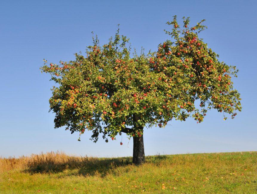 Сильнорослые сорта яблонь разрастаются до 6 – 8 м в диаметре