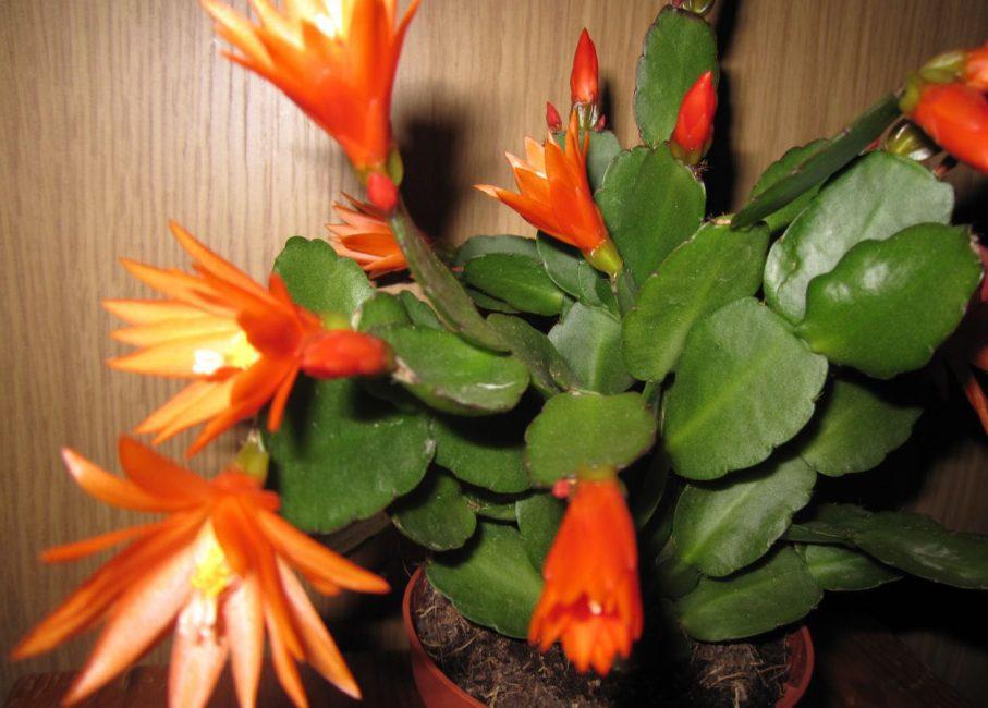 Цветение шлюмбергеры совсем непривычными, оранжевыми цветками с яркими тычинками, красиво выделяющимися над продолговатыми лепестками