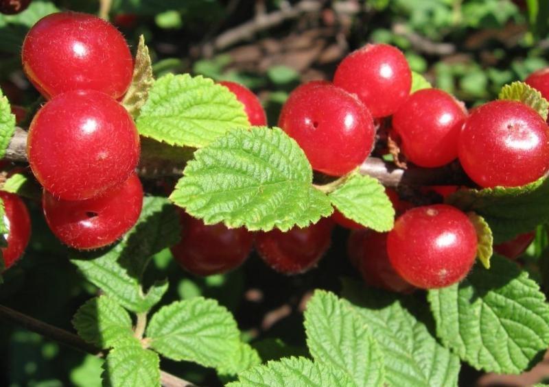 Сорт войлочной вишни Аньдо
