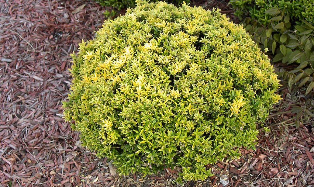Псевдолавр (Euonymus japonica) .