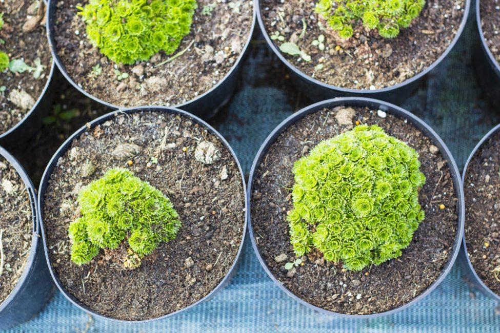 Молодые саженцы растения каменоломки