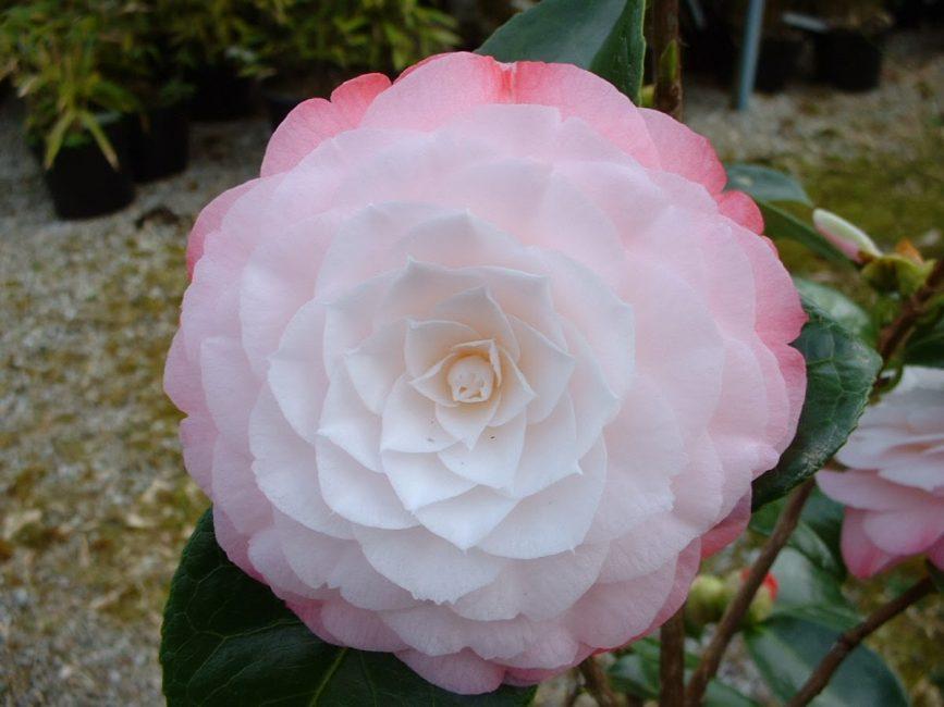 Дазайр Camellia Japonica