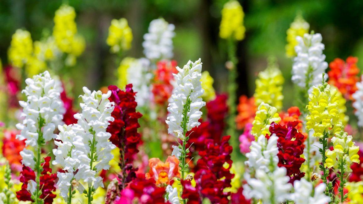 Радуга цветов Львиного зева