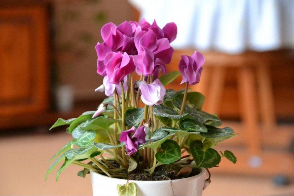 Растение размножается как семенным способом, так и вегетативным