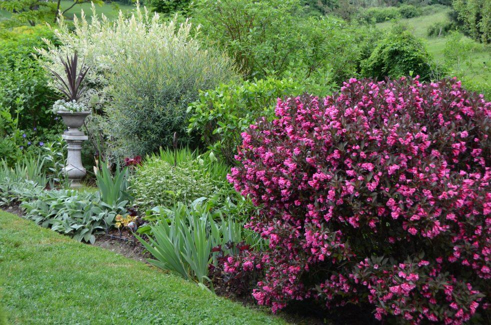Куст вейгелы в саду