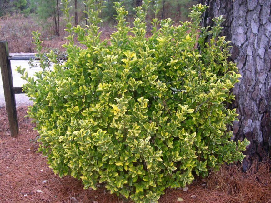 Euonymus Aureo marginatus Аурео-маргината