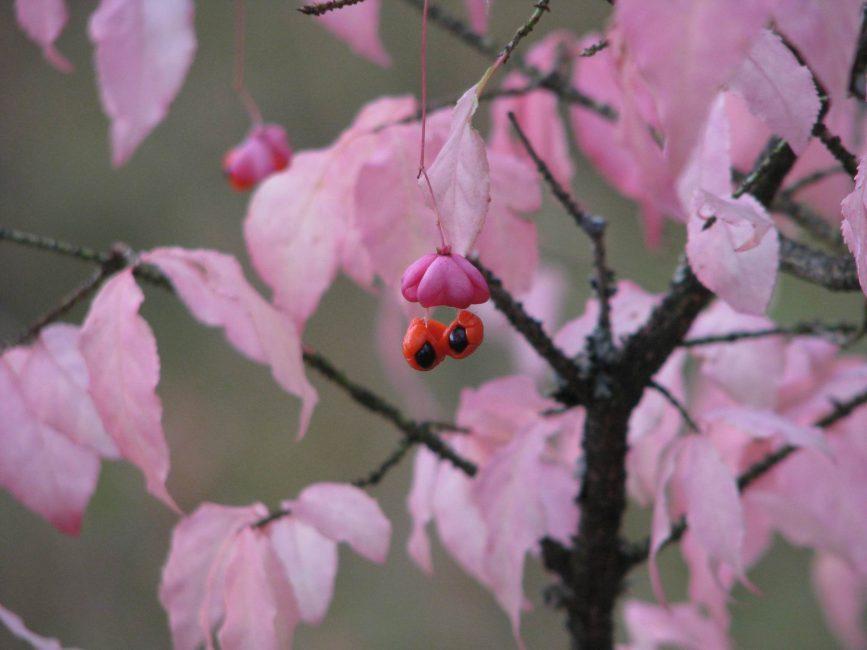 Euonymus verrucosus Бородавчатый или малоцветковый