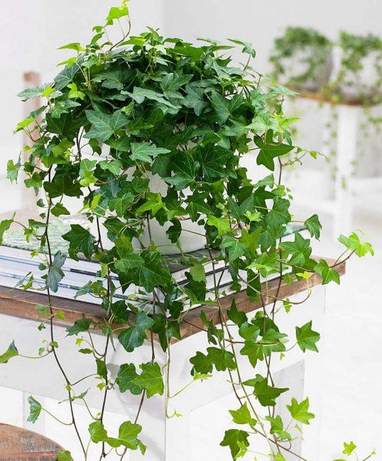 Плющ обыкновенный ТОП-50 Декоративных растений очищающих воздух в нашем доме или квартире (50+ Фото & Видео) +Отзывы
