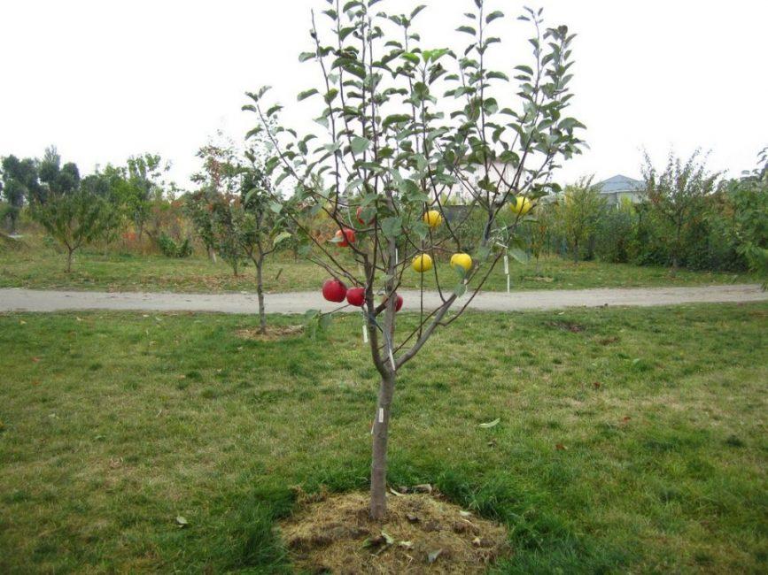 Карликовые яблони разрастаются до 3 – 4 м в диаметре