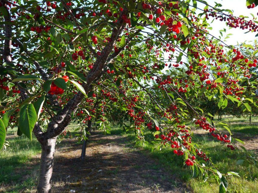 Вишня - дерево высотой 5 - 7 м или кустарник, размером 1,5 - 2 м.
