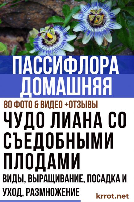 Пассифлора домашняя или страстоцвет