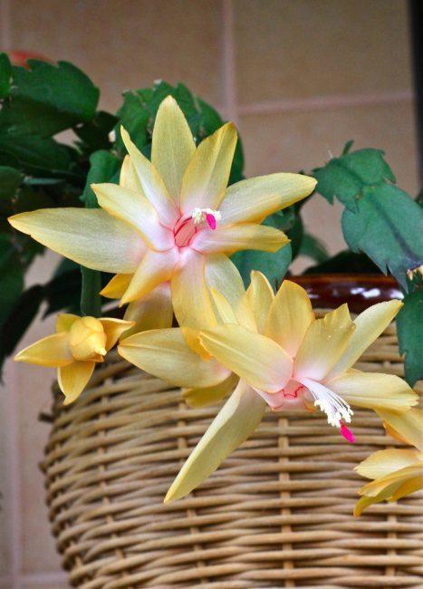 Schlumbergera x reginae